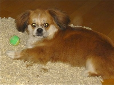 A medium-haired, red with white Peke-A-Pap puppy is laying on its right side on top of a tan shaggy rug on top of a hardwood floor and there is a green and yellow ball in front of it. It is looking up at the camera.
