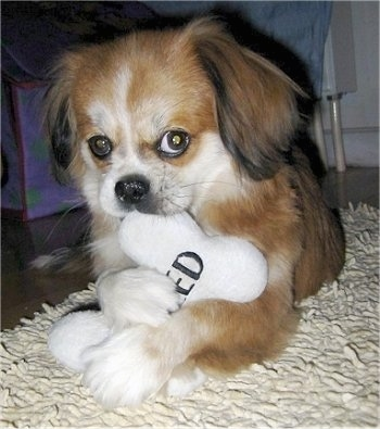 Front view - A red with white and black Peke-A-Pap puppy is laying on a tan shaggy rug and is biting on a bone pillow that is in its front paws. The white pillow has the words 'Spoiled' embroidered on it in black letters.