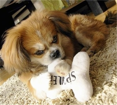 Front view - A red with white and black Peke-A-Pap puppy is laying on a tan shaggy rug with a white plush bone pillow in its front paws. The pillow has black wording on it that says 'SPOILDED' and the dog is chewing on it.