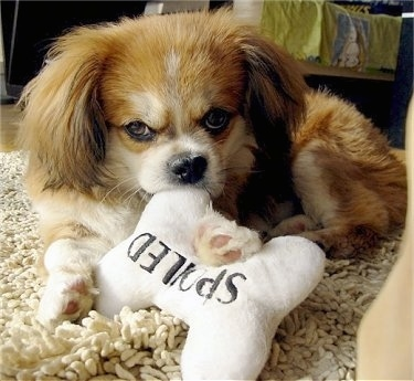 Front side view - A fluffy, red with white and black Peke-A-Pap puppy is laying on a tan shaggy rug with a white plush bone toy in its front paws. The toy has black words on it that say 'spoiled'