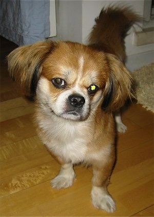 Close up front view - A red with white and black Peke-A-Pap dog is standing on a hardwood floor and looking forward. Its head is tilted to the right and it looks like its smirking at the camera.
