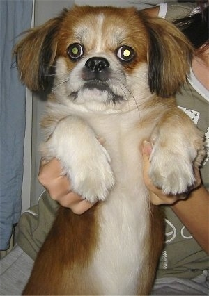 A red with white and black Peke-A-Pap is being held up on its hind legs showing its white belly by the person behind it.