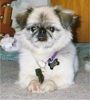 Front view - A tan with white and black Pekingese is laying on a carpet and it is looking forward. There is a green Greenie toothbrush chew toy in its front paws.