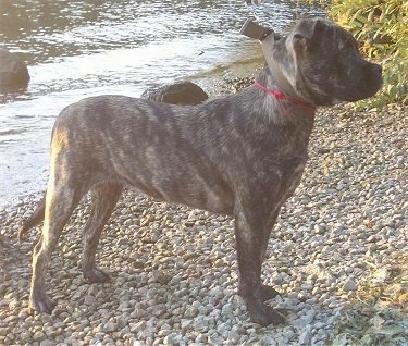 Right Profile - A brindle black with tan Perro de Presa Malloquin dog is standing on a gravel pathway in front of a body of water. The dog is looking to the right.