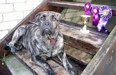 A black brindle with white Perro de Presa Malloquin is laying across a wooden step. The step above it has three purple ribbons and a trophy on it.