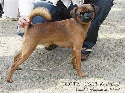 Brown Sugar Youth Champion of Poland – Petit Brabancon at 13 months old!