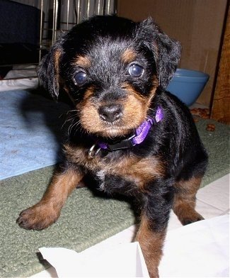 A black and tan Pinny-Poo puppy is sitting on a tan rug in front of a light blue towel and a dog crate looking forward. There is a blue water bowl on the floor behind it.