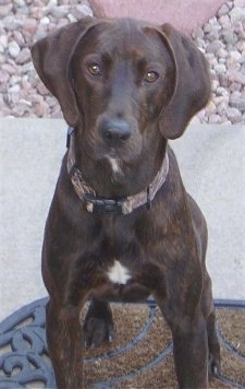 Front view - A brown with white Plott Hound is sitting on a door mat and it is looking up.