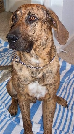 Close up front view - A brown brindle with white Plott Hound is sitting on a blue and white Towel and it is looking to the left.