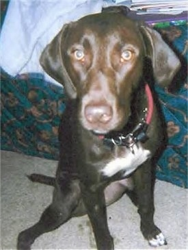 Close up front view - A brown with white Pointer Bay dog is wearing a red collar, sitting on a tan carpet leaning against a human's bed looking forward.