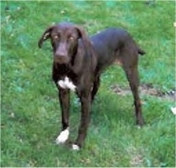 Front side view - A brown with white Pointer Bay dog is standing in grass looking towards the camera.