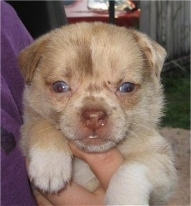 Close up front view - A tan with white Pom-A-Pug is being held outside under the arms of a person in a purple shirt. the pups eyes look blue and you can see its bottom white teeth showing.