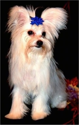 A fringed perk-eared tan with white Maltipom dog is sitting on a couch and it is looking down and to the right. It is wearing a blue bow on top of its head.