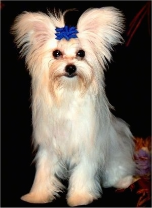 A tan with white Maltipom dog is sitting on a couch and it is wearing a blue bow on top of its head. It has fringe on its perk-ears.