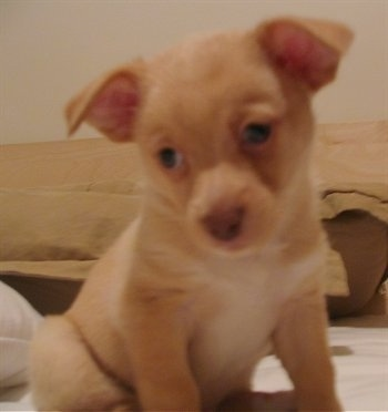 Close up - A shorthaired tan with white Pomchi puppy is sitting on a bed with its head down looking to the left.