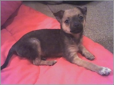 Side view - A black and brown Pomerat puppy is laying across a red blanket and it is looking up. It has small triangular ears that fold over to the front.