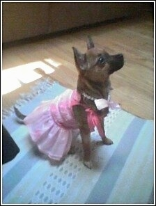 A shorthaired, brown and black Pomerat puppy is wearing a pink party dress and a necklace sitting on a blue and white throw rug on top of a hardwood floor facing the right looking up.