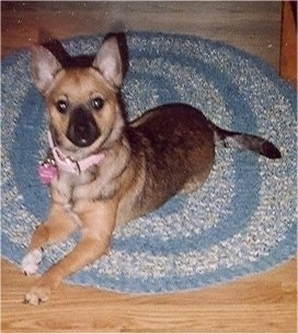 Front side view - A perk-eared, shorthaired, brown and black Pomerat dog is laying across an oval blue and white throw rug on top of a hardwood floor looking up.