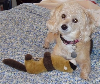 A shaved tan with white Poogle dog is laying on a person's bed looking forward. There is a plush ferret doll next to it. Its head is tilted to the right.