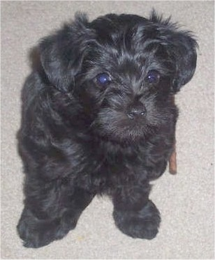 Close up front view - A wavy-coated black Poolky puppy is sitting on a tan carpeted floor looking up.