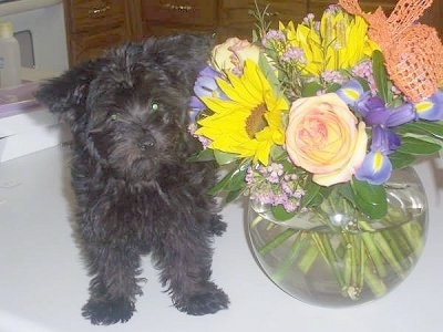Front view - A wavy-coated, black Poolky puppy is standing on a table next to a bokay of flowers in a round glass vase of water. The puppy is looking slightly to the right.