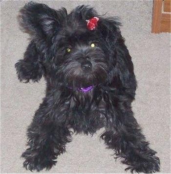 ... dog hybrids popular poodle mix breeds list of different dogs crossed