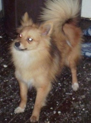 Front side view - A fluffy, tan with white Poshies dog is standing on a brown speckled floor looking up and to the left.