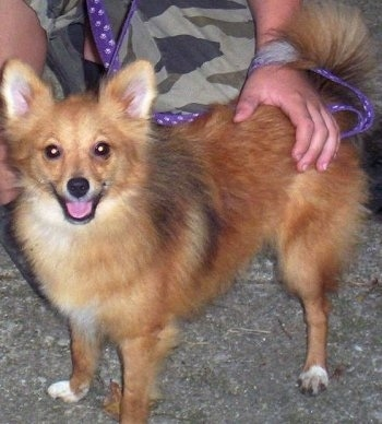 Pomeranian Sheltie Mix Mom was a sheltie and dad