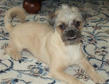 Front side view - A wiry looking, tan Pugapoo is laying across a rug and it is looking forward. Its head is slightly tilted to the left and its bottom teeth are showing because of an underbite. It has longer hair on its face and tail and shorter hair on the rest of its body.