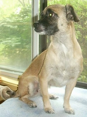 Front side view - A small-breed, short-coated, tan with black Pugese dog is sitting on a table in front of a window looking to the left.