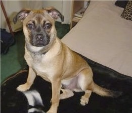 The left side of a tan with black Puggat dog is sittig on a bed and it is looking up and forward. Its ears are folded over to the sides.