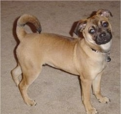 "Mason, the Puggat (Pug / Rat Terrier mix) at 10 month old. ""Where we got him, he was called a Rug Rat."""