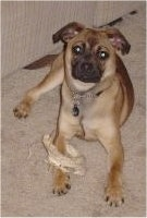 Mason, the Puggat (Pug / Rat Terrier mix) at 10 month old