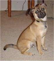 The right side of a tan with black Puggat that is sitting on a carpet and it is looking up and forward. Its head is tilted to the left.