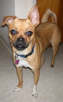 A tan with white Puggat is standing in a hallway on a carpet and it is looking up and forward. Its left ear is flopped over and its right ear is sticking straight up in the air. Its tail is curled up over its back.