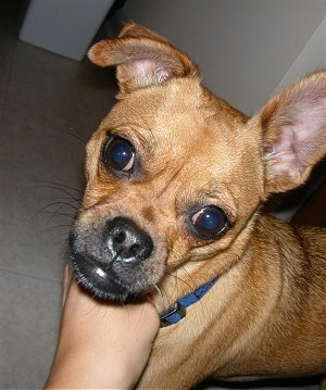 Close up head and upper body shot - A tan with white Puggat is standing on a tan carpet in a hallway and someone is petting under its neck. Its right ear is standing straight up and its left ear is folded over.