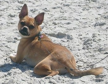 The back of a tan with white Puggat dog that is laying on a sandy beach looking back to face the camera. It has short hair and large perk ears.
