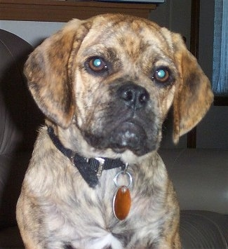 Close up head and upper body shot - A brindle Puggle puppy is sitting on a couch and it is looking forward.