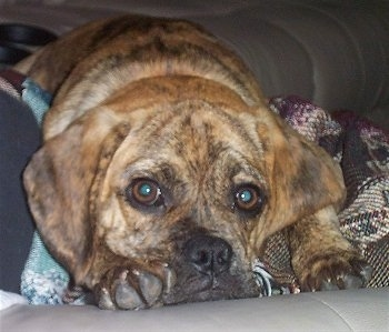 Close up - A brindle Puggle puppy is laying down on a dog bed and on top of blankets. The pup has big round eyes.