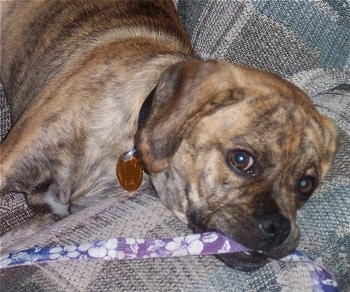 Close up - A brindle Puggle puppy is laying on the arm of a couch and it has a purple and white flowered leash in its mouth.
