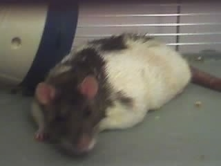 A black and white agouti hooded rat is laying in a cage looking forward.