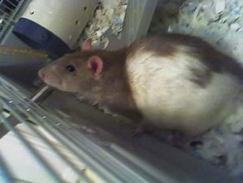 Close up - A brown with white rat is standing against the side of a cage.