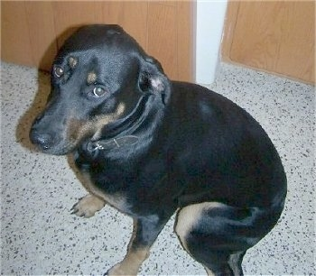The left side of a black with brown Rotterman that is sitting on a white kitchen speckled floor looking up.