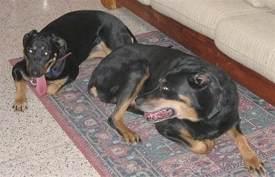 Two Rottermans are laying on a rug. The front most dog is looking back at the dog behind it.