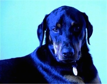 Close up - A black with brown Rotterman is looking forward. It is so shiny it looks blue in color.