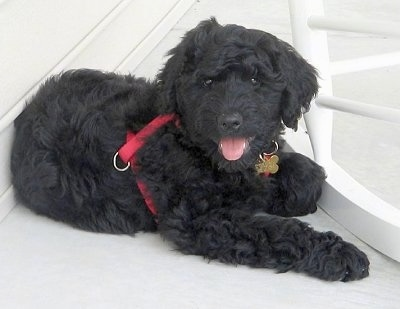 The front right side of a black wavy-coated Rottle puppy wearing a red harness laying on a porch and it is looking forward. Its mouth is open, its tongue is out and it looks like it is smiling.