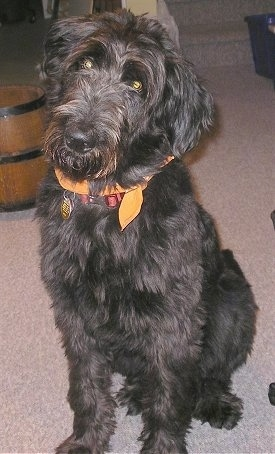 Shepadoodle Dog Breed Pictures 1