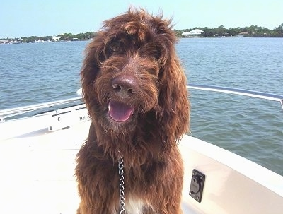 A wavy coated, chocolate with white Springerdoodle is sitting on a boat that is out on the water looking forward. Its mouth is open, its tongue is out, it looks like it is smiling and its head is slightly tilted to the right. Its nose is brown.