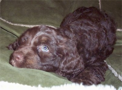 Close up front side view - A chocolate and white Springerdoodle is laying down on a blanket and it is looking to the left.