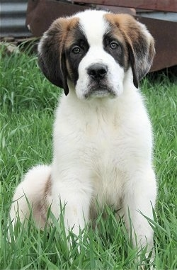 Front view - A fuzzy brown and white with black Saint Bernard puppy is sitting in grass and it is looking forward. The dog's front is white and it has darker areas of brown and black on its ears and around each eye.